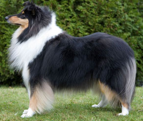 Image result for rough collie conformation