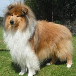 National Dog Show Rough Collie