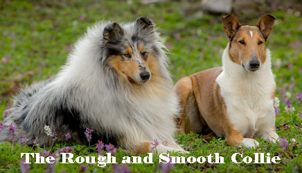 Collielife Rough And Smooth Collies